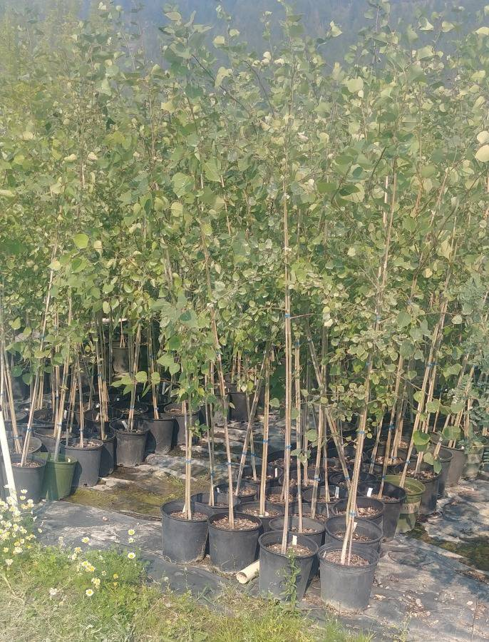 (1) # 2 Gal. Trembling Aspen Potted Tree.